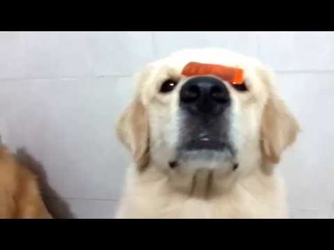 TWO SILLY DOGS training - Barney and Barbos (golden retriever) FUNNY