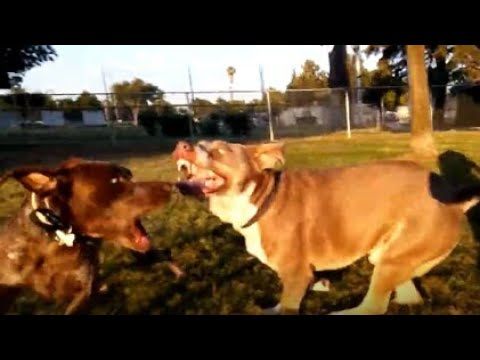Pitbull Mix Lays The Smackdown On German Shorthaired Pointer At Dog Park