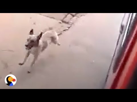 Loyal Dog Chases Dad's Ambulance  | The Dodo