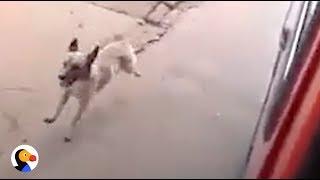Loyal Dog Chases Dad's Ambulance  | The Dodo
