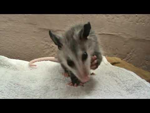 Baby opossum eating a grape