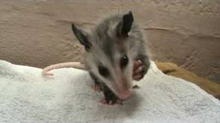 Baby opossum eating a grape