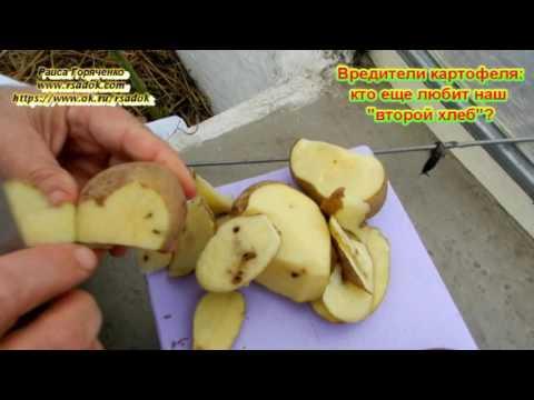 Вопрос: Что за белые черви едят картошку?