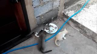Anak kucing berebut makanan