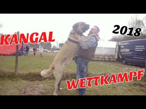 Mein RIESEN HUND reagiert auf RIESEN HUNDE😱😡 | KANGAL WETTKAMPF 2018!!🇹🇷