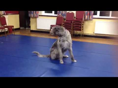 Penny Irish Wolfhound obedience reel