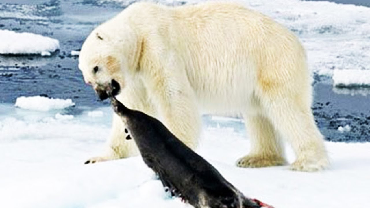 Hungry Polar Bear Ambushes Seal-National Geographic Wild Animals Fights