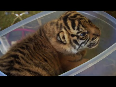 Thumbnail: Handraising Twin Tiger Cubs - Tigers About The House - BBC