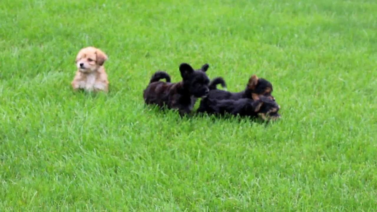 Yorkichon Puppies For Sale Youtube