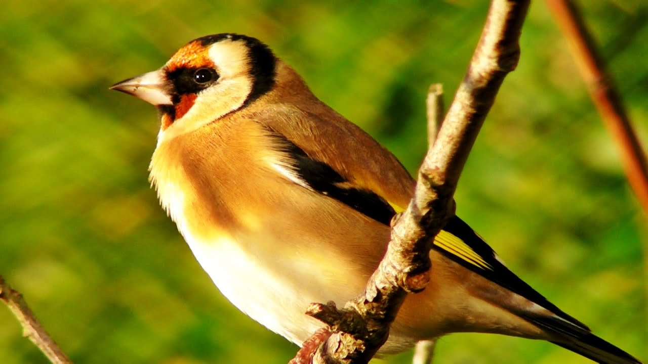 Ok google show me pictures of goldfinches