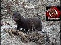 Ben the GIANT Buck Mink: First Free Run