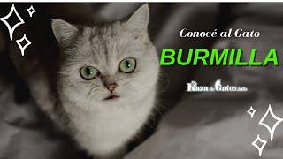 Burmilla  El gato con 'maquillaje' y pelaje platinado