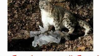 Животные кошачьи звук