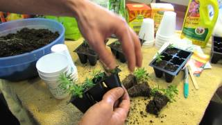 MFG 2016: Transplanting & Fertilizing Your Rosemary & Lavender Seed Starts: Let the Soil Dry