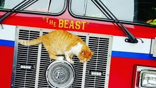 Stay Cat Walks Into Firehouse One Day And Chooses The Crew As His Forever Family