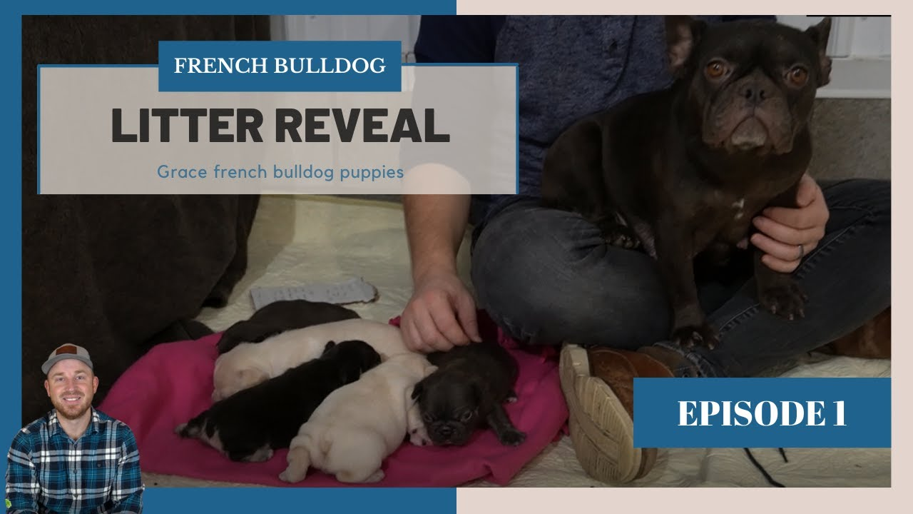 French Bulldog Puppies - Grace and Nicki Frenchie Litter Reveal - January 2021
