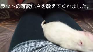 佐藤さんは、2015.1.9.生まれの男の子。我が家で、はじめて飼育したラッ...