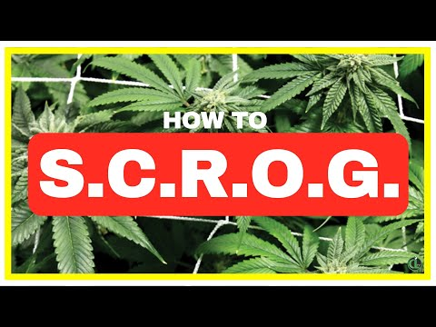 How to SCROG [SCREEN OF GREEN METHOD EXPLAINED]