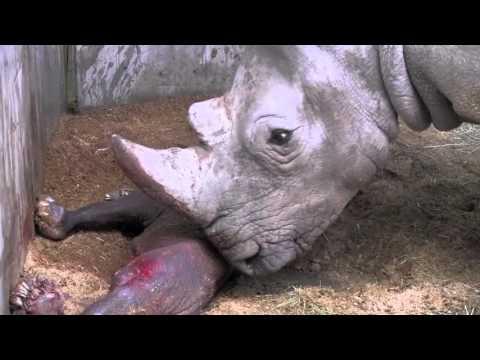 Geboorte witte neushoorn in Pairi Daiza (22 maart) (zeldzame beelden)