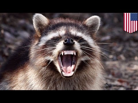 Rabid raccoon: female jogger attacked by raccoon in forest, gets bitten and drowns it - TomoNews
