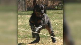Quadruple Amputee Rottweiler Adjusts To New Prosthetic Limbs