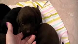 English Labrador Retriever Puppies For Sale In Michigan