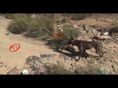 Rattlesnake Aversion Training Prescott, AZ and the greater Scottsdale, Phoenix area.