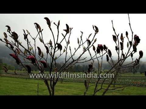 Magnolia flowers bloom in Tulip Garden, Srinagar