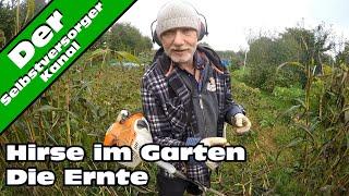 Hirse im Garten anbauen Die Ernte