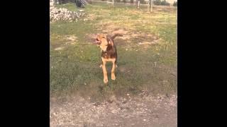 Собака поет.  Поющая собака.Второе видео Хема