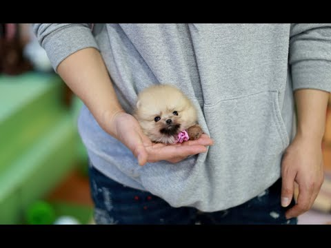 Fluffy Orange Teacup Pomeranian!! -  Teacup Puppies