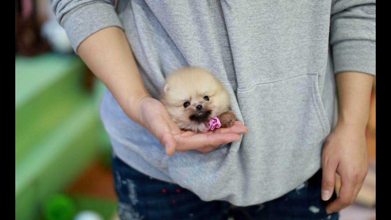 Fluffy Orange Teacup Pomeranian