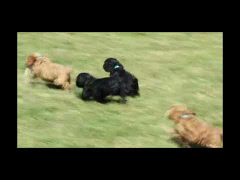 Cockapoo Puppies For Sale