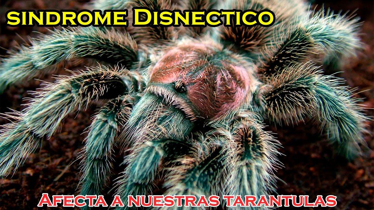 Sindrome Disnectico Tarantulas - YouTube