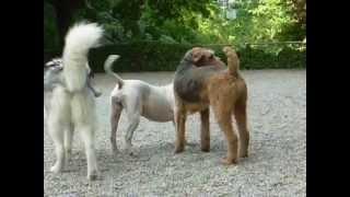 Play Time - Husky Pitbull Airedale Sheepdog Portuguese Water Dog