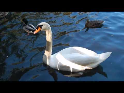 Swan - Tibbetts Brook Park
