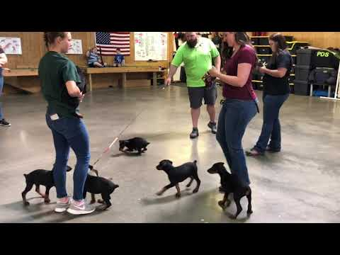 """Super Doberman Puppies 7 Wks Old Early Evaluations @ Protection Dog Sales """"G"""" Litter 2019"""