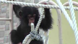 Download Video チンパンジー 双子の赤ちゃん141 Chimpanzee twin baby MP3 3GP MP4