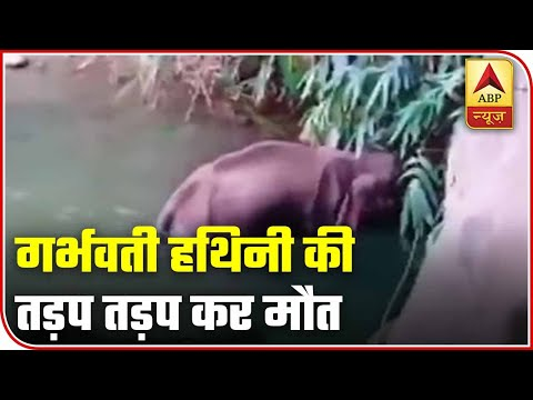 Shameful: Pregnant Elephant Dies After Fed With Cracker-Filled Pineapple | ABP News