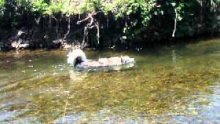 Alaskan Malamute アラスカンマラミュート 銀の川遊び.