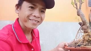 Kỹ thuật trồng cây đinh lăng bonsai