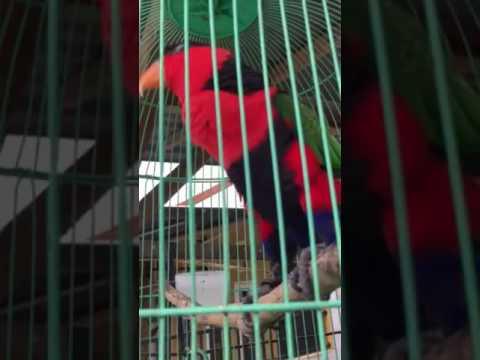 Suara burung nuri bisa bicara