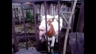 Смешная корова показывает язык