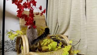 もみじであそぶ猫 Colored leaves 171110