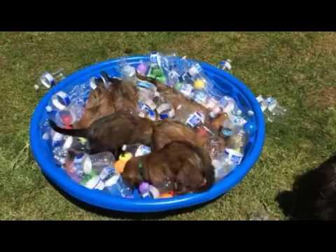 6 week old Briard pool puppies