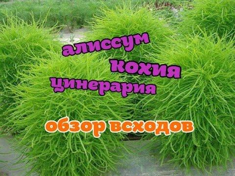 КОХИЯ, АЛИССУМ, ЦИНЕРАРИЯ/посев семян/обзор всходов