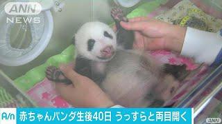 赤ちゃんパンダ生後40日 うっすら目開け方向転換も(17/07/23) thumbnail