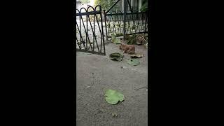 чихуахуа охотится / Видео