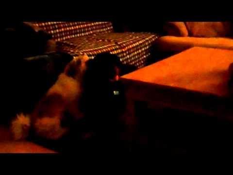Shih Tzu Cleans Rottweiler's Ears