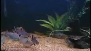 Instructional Cichlid Aquarium Dvd (artificial Plants)